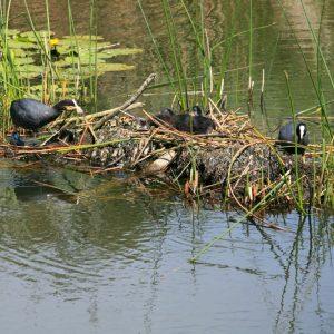Blässhühner mit Küken auf den Breitunger Seen