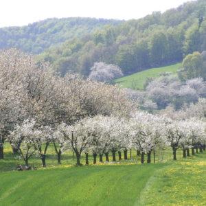 Kirschblüte bei Witzenhausen