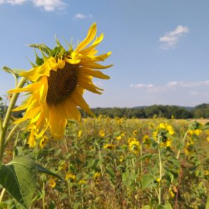 Sonnenblumenfeld Dankmarshäuser Rhäden
